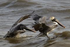 pelicans - Newport News Va. (watts_photos) Tags: pelicans newport news va pelican bird birds water beak bif flight flying fly seaa