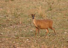 Muntjac (Barking Deer) - Muntiacus muntjak (Gary Faulkner's wildlife photography) Tags: muntjac barkingdeer muntiacusmuntjak