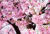 DSCF8681 (吳冠霖) Tags: 日本 japan 橫濱 摩天輪 日本丸 富士山 河口湖 千一景 音樂之森 雪 淺草 雷門 和服 押上 晴空塔 新宿御苑 千鳥淵 櫻花