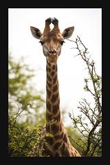2018 02 01_Giraffe-1 (Jonnersace) Tags: giraffacamelopardalisgiraffa giraffe krugernationalpark kameelperd neck ears symmetry portrait mammal animal africa wildwingssafaris canon canon7dii canon100400ii wild nature tall viewpoint vantagepoint stare gaze eyes poise grace