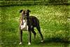 Hasko ( photopade (Nikonist)) Tags: boxer chien nikon affinityphoto apple afsdxvrzoomnikkor1685mmf3556ged on1 imac