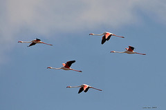 5 (Enllasez - Enric LLaó) Tags: flamencos flamencs delta deltadelebre deltadelebro aus aves bird birds ocells pájaros alvol 2013