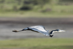 Perfect form (tmeallen) Tags: blackheadedheron ardeamelanocephala flying perfectform pointedtoes panningshot outstretchedneck scurve bird lakendutu tanzania serengeti eastafrica rainyseason
