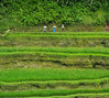 Working in the Rice Paddies - Tegallalang, Ubud, Bali, Indonesia (mattybecks3) Tags: tegallalang rice paddy field work working women woman asia bali indonesia indo green texture nature landscape wanderlust ngc natgeo