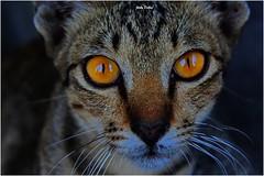 those big beautiful eyes (1)….. (Jinky Dabon) Tags: canoneos1200d cat felines feline pet pets cats kitty