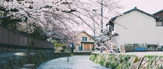 京都。満開