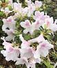 Early Azalea (Melinda Stuart) Tags: flowers spring azalea asia pink white ucbg
