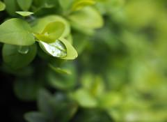 Raindrop Leaf Holder (Orbmiser) Tags: mzuiko ed 1240mm f28 pro 43rds em1 mirrorless olympus ore portland m43rds raindrop leaf leaves mzuikoed1240mmf28pro