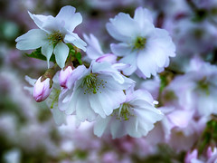 My Cherry Amour (BeMo52) Tags: baum blüte bloom cherry flora flowers frühling garten grün natur nature shrub tree zierkirsche zierpflanze