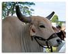 Brahma Bull Show Day Milton (Bear Dale) Tags: brahma bull show day milton agricultural new south wales australia nikon d850