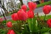 Red Tulips, Jubilee Gardens, Chichester (2) (f1jherbert) Tags: sonya68 sonyalpha68 alpha68 sony alpha 68 a68 sonyilca68 sony68 sonyilca ilca68 ilca sonyslt68 sonyslt slt68 slt jubileegardenschichesterwestsussex jubileegardens westsussex jubilee gardens chichester west sussex