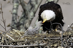 Feeding Time (Rich McPeek) Tags: birdphotography landscape life nature wildlife wildlifephotography animals bird photography naturephotography eagle eaglets baldeagle fish feeding