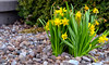 112:365 - Gathered (LostOne1000) Tags: spring cy365 flowers day112365 nature signsofspring narcissus earlyspring rocks seasons 3652018 365the2018edition evergreen photography 365challenge plants bush springfever 220418 april