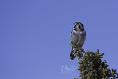 Northern Hawk Owl (J.Hunter Photography) Tags: owl predator raptor wildlife nature birdphotography wildalaska alaska hawkowl northern wild