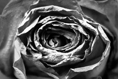 One (K Taylor) Tags: photography roses rosepetal nikon