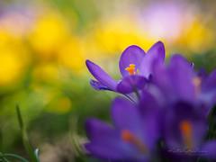 Kro-Kuss (Karsten Gieselmann) Tags: 40150mmf28 blumen blüten bokeh dof em5markii frühling gelb grün jahreszeiten krokus lila mzuiko microfourthirds natur olympus pflanzen schärfentiefe blossom crocus flower green kgiesel m43 mft nature purple seasons spring violett yellow
