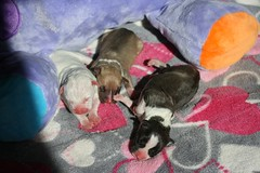IMG_8988.1 (dzikusiak) Tags: amstaff puppy american staffordshire terrier puppies pitbull