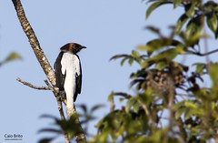 Bearded Bellbird (Procnias averano)