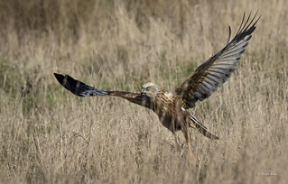 Marsh Harrier_MG_0602