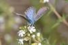 Scolitantides (Pseudophilotes) panoptes (Hübner, 1813) (Jesús Tizón Taracido) Tags: insecta lepidoptera papilionoidea lycaenidae polyommatinae polyommatini scolitantidespanoptes