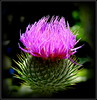 Natural Wonder (dimaruss34) Tags: newyork brooklyn dmitriyfomenko image flower thistle