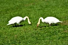 Schwäne - Cisnes - swans (in excplore) (PinoyFri) Tags: schwäne swans cisne 天鵝 หงส์ svaner joutsenia κύκνουσ cigni 白鳥 סוואָנז 백조 zwanen donauufer danubeshore rivedudanube 300mm nikond3400 explore tamron inexplore explored