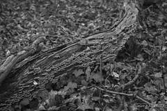 20180331_100256_0040 (Olivier_1954) Tags: flore natureetpaysages végétaux couillet champignons forêt nb bois paysage charleroi wallonie belgique be