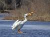 American White Pelican (aurospio) Tags: burwell nebraska pelican pelecanus pelecanuserythrorhynchos calamusreservoir calamus bird