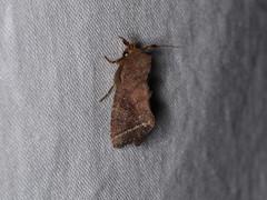 Elusa sp. (dhobern) Tags: 2018 china lepidoptera march xtbg xishuangbanna yunnan noctuidae hadeninae elusa