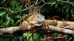 Green Iguana (Male)  Iguana iguana (jaytee27) Tags: costarica iguanaiguana greeniguanam naturethroughthelens
