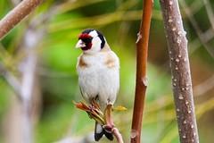 European Goldfinch in Bursa/Turkey. (leonparis) Tags: tamron canon birding goldfinch saka bursa turkey