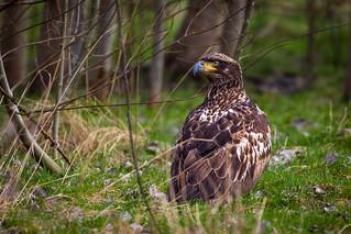 Sitting eagle