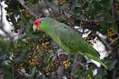 Red-crowned Parrot (Alan Gutsell) Tags: birds bird photo alan wildlife nature southtexasbirds texasbirds texas wildlifephoto canon lens redcrowned parrot red crowned
