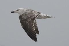 Herring Gull (Tenspeed2) Tags: herring gull