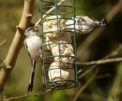 long tail tit (2) (Simon Dell Photography) Tags: shirebrook valley sheffield nature wildlife birds animals spring views sights reserve s12 simon dell photography photos