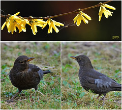 Gartentreff.... (peterphot) Tags: amsel pflanzen blüten garten frühjahr