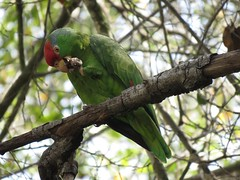 Red-crowned Amazon - Descanso Gardens (weezerbee9) Tags: