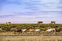 Icelandic Horses (wyojones) Tags: iceland southiceland horses breed icelandichorse gait tölt skeið flyingpace color smallhorse colorpatterns icelandiclanguage mane grass hillside herd morning light