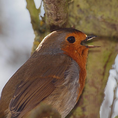 2018_03_0665 (petermit2) Tags: robin erithacusrubecula erithacus oldmoor dearnevalley dearne rotherham barnsley southyorkshire rspb