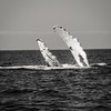 barnacles on a beast (evan.glass) Tags: whale mexico pacific pv humpback splash breach