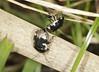 Mating Pied Shieldbugs - Tritomegas bicolor (Prank F) Tags: woodwaltonfen greatfen wildlifetrust huntingdonuk wildlife nature insect macro closeup bug shieldbug pied tritomegasbicolor mating