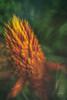 Bromeliad 2 (Enio Godoy - www.picturecumlux.com.br) Tags: bromeliad niksoftware macro nature birdspark sonyalpha analogefexpro2doubleexposure a6300 brazil fozdoiguaçu bromelia sony flower details sonyalpha6300 colors