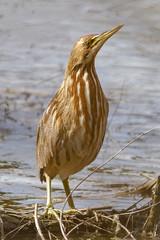 American Bittern (tresed47) Tags: 2018 201804apr 20180408chestercountybirds americanbittern april birds bittern canon7d chestercounty content extonpark folder pennsylvania peterscamera petersphotos places season spring takenby us