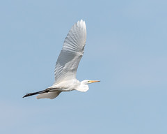 Great Large Egret, Over Grove Ferry copy (Graham 64) Tags: l great white egret grove ferry flying