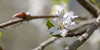 Soft beauty (Maryna K.) Tags: nature flower plum spring frühling pflaumenblüte