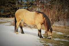 Country Farm Horse (Sananab51) Tags: horse mane snow grass shrubs winter spring tail field 2018 canon rebel t5i spirit belgianquarterhorsecross cross belgian quarter animal
