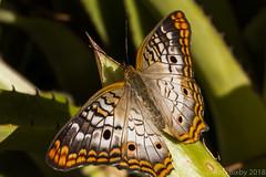 JaxZoo_4-12-18-9048 (RobBixbyPhotography) Tags: animals florida jacksonville zoo butterfly macro