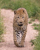 Casual Stroll (Eddie Hyde ARPS) Tags: leopard nottensbushcamp sabisands southafrica wildlife bigcats nature