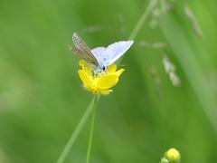 Common Blue P1770035 (ianpreston) Tags: 2018 cannockchase commonblue staffordshire