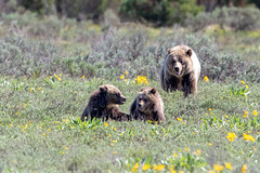 Uh oh, Mamabear is watching (Patty Bauchman) Tags: blondie grizzlybear northamericanbrownbear ursusarctosssp grandtetonnationalpark grizzlycubs wildlife nature 793